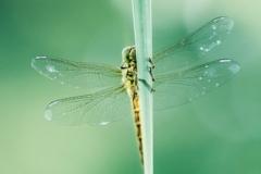 19/30 - Grosse libellule