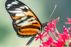 21/30 - Papillon exotique