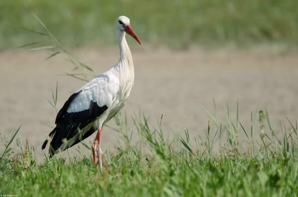Le premier volatile croisé lors de notre visite : une belle cigogne blanche...