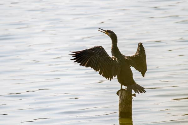 Un jeune cormoran séchant ses ailes...