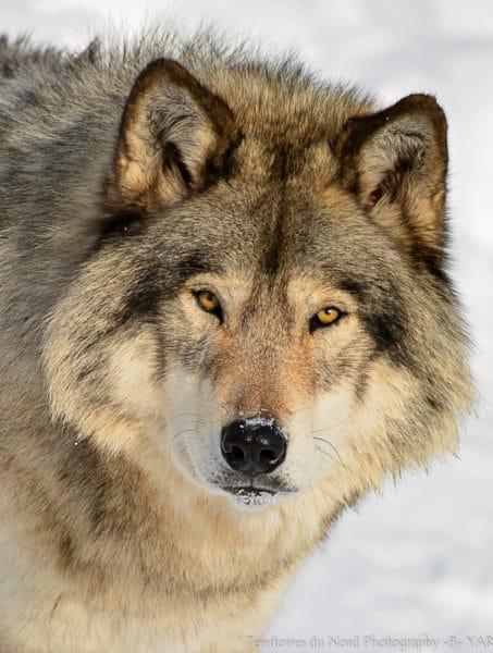 Loup-yellowstone-USA-Berangere-Yar-1